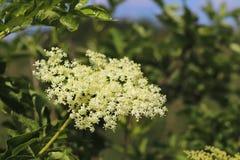 Цветок elderberry в солнце Голубой цветок в капельках росы на запачканной зеленой предпосылке Заводы лугов regi Стоковое Фото