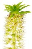 цветок eucomis Стоковое Изображение RF