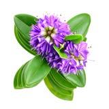 цветок ferruginea изолировал белизну shrub pimelea стоковое изображение