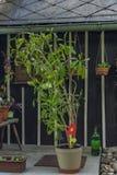 Цветок Fico около чехословакского коттеджа Стоковые Изображения