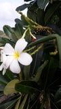Цветок Frangipani будучи съеденным червем Стоковая Фотография RF