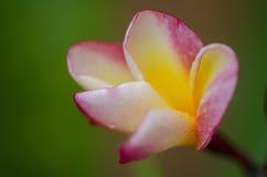 Цветок Frangipani/виска Стоковая Фотография