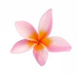 Цветок Frangipani изолированный на белой предпосылке Стоковые Фото