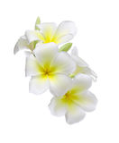 Цветок Frangipani изолированный на белой предпосылке стоковое изображение rf