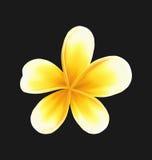 Цветок Frangipani изолированный на темной предпосылке Стоковая Фотография