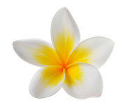 Цветок Frangipani на белой предпосылке Стоковые Изображения