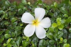 Цветок Frangipani на зеленой предпосылке лист Стоковая Фотография RF