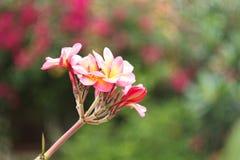 Цветок Frangipani с красивой предпосылкой стоковое изображение rf