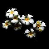 Цветок, frangipani, с темной предпосылкой Стоковое Изображение RF