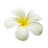 Цветок Frangipani Стоковое Фото