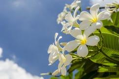 Цветок Frangipani Стоковое фото RF