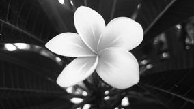 Цветок Frangipani Стоковое Изображение