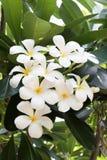 Цветок Frangipani Стоковые Фото