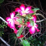 Цветок Frangipani Стоковые Изображения RF