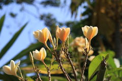 Цветок Frangipani Стоковая Фотография RF