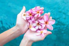 Цветок frangipani Plumeria в руке женщины на предпосылке бассейна Стоковая Фотография