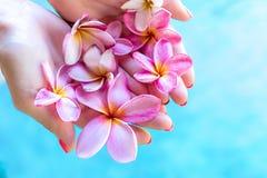Цветок frangipani Plumeria в руке женщины на предпосылке бассейна Стоковое Фото