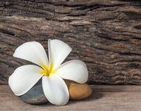 Цветок Frangipani (Plumeria) Стоковое Изображение RF
