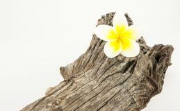 Цветок Frangipani (Plumeria) Стоковое фото RF