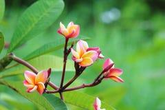 Цветок Frangipanis Стоковое Изображение