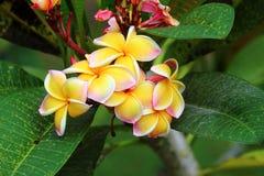 Цветок Frangipanis Стоковые Изображения