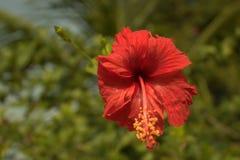 Цветок Fulhad цветка гибискуса Стоковое фото RF