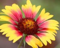 Цветок Gaillardia Стоковое Изображение RF