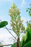 Цветок Galanga Стоковое фото RF