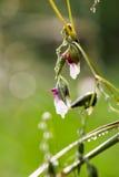 Цветок galangal Стоковое Изображение