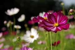 Цветок Galsang Стоковые Изображения