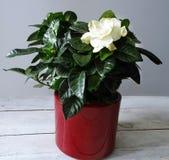 Цветок Gardenia в красном баке Стоковое Фото
