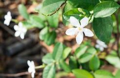 Цветок Gardenia Стоковая Фотография RF