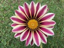 Цветок Gazania зацветая на предпосылке зеленой травы Стоковое Изображение