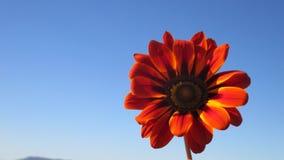 Цветок gazania солнцецвета Algerien Стоковое Изображение RF