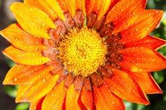 Цветок Gazania с падениями росы или падениями дождя Стоковое Изображение RF