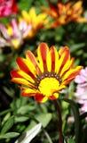 Яркий цвести лета. Rigens Gazania. Стоковое Изображение