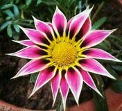Цветок Gazania бесплатная иллюстрация