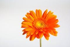 Цветок Gerber Стоковое Изображение