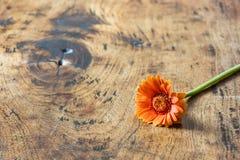 Цветок Gerbera лежа на деревянной поверхности Стоковая Фотография