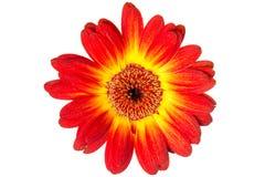 Цветок Gerbera изолированный на белой предпосылке Стоковые Изображения RF