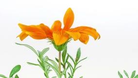 Цветок Gerbera на белизне видеоматериал