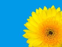 Цветок Gerbera Стоковая Фотография RF