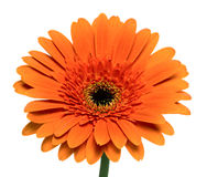 Цветок Gerbera Стоковые Фото