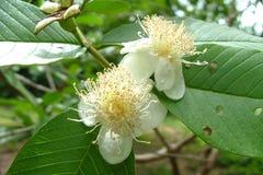 Цветок Guavas стоковая фотография rf