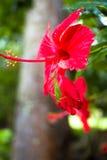Цветок Gumamela Стоковая Фотография RF