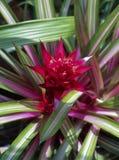 Цветок Guzmania Limones Стоковые Изображения RF