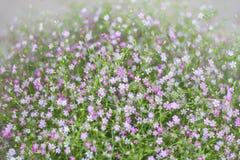 Цветок Gypso Стоковое Фото