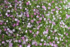 Цветок Gypso Стоковые Фото