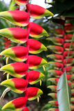 Цветок Heliconia - райская птица стоковое фото rf