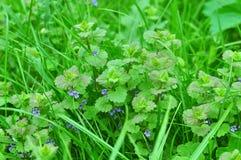 Цветок henbit Стоковые Фотографии RF
